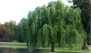 Hoạt chất từ cây liễu giúp chống lại nhiều tế bào ung thư