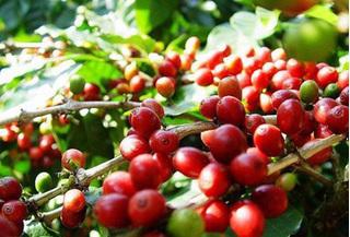 Giá cà phê hôm nay ngày 20/4: Trong nước biến động trái chiều