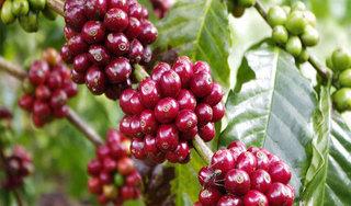 Giá cà phê hôm nay ngày 25/4: Trong nước và thế giới quay đầu giảm nhẹ