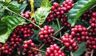 Giá cà phê hôm nay ngày 26/4: Trong nước và thế giới đi ngang