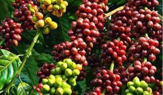 Giá cà phê hôm nay ngày 29/4: Trong nước và thế giới tăng mạnh