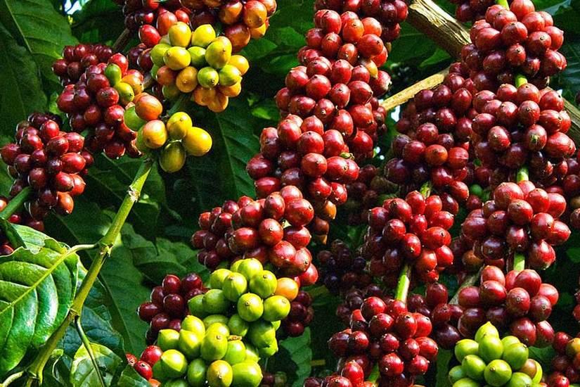 Giá cà phê hôm nay ngày 29/4, trong nước và thế giới tăng mạnh
