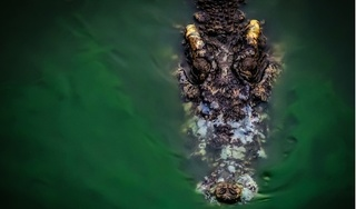 Phát hiện xác người, trong bụng cá sấu dài hơn 4 mét