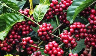 Giá cà phê hôm nay ngày 1/5: Cà phê trong nước tiếp đà tăng mạnh