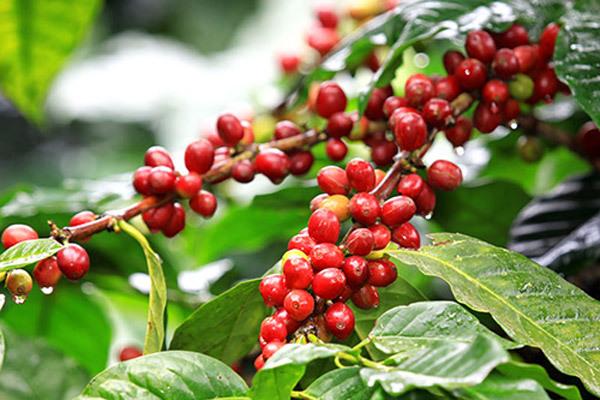 Giá cà phê hôm nay ngày 3/5, trong nước duy trì ở mốc trên 30.000 đồng/kg