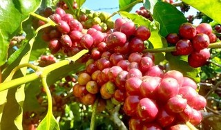 Giá cà phê hôm nay ngày 5/5: Trong nước vẫn trên đà khởi sắc, thế giới giảm nhẹ