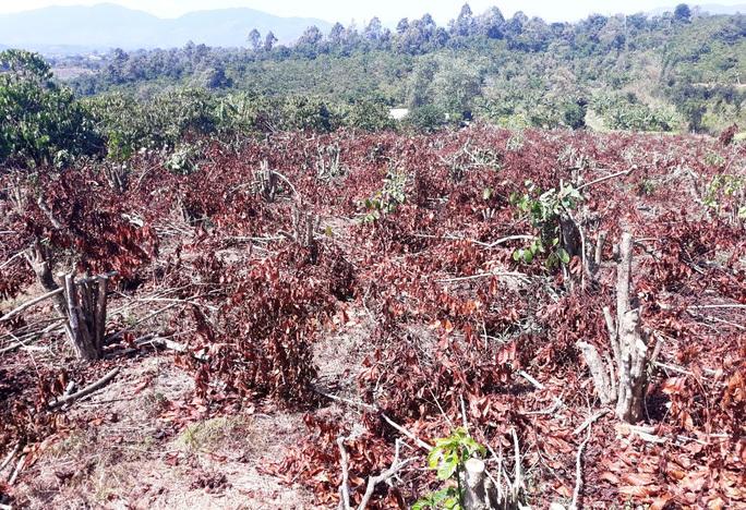 Vườn cà phê 565 cây đến ngày thu hoạch bị chính em rể dùng cưa máy đốn hạ