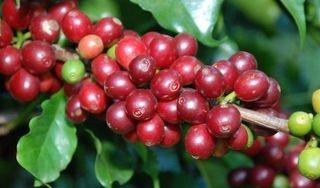 Giá cà phê hôm nay ngày 6/5: Trong nước ổn định, thế giới tăng mạnh