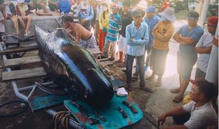Cá voi dạt vào bờ biển Nha Trang với nhiều vết thương tích