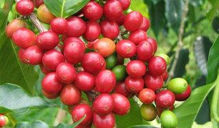 Giá cà phê hôm nay ngày 8/5: Trong nước và thế giới quay đầu giảm mạnh