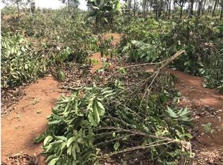 2 nghìn cây cà phê sắp thu hoạch bị chặt hạ trong đêm