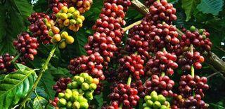 Giá cà phê hôm nay ngày 10/5: Trong nước ổn định, thế giới tăng trở lại