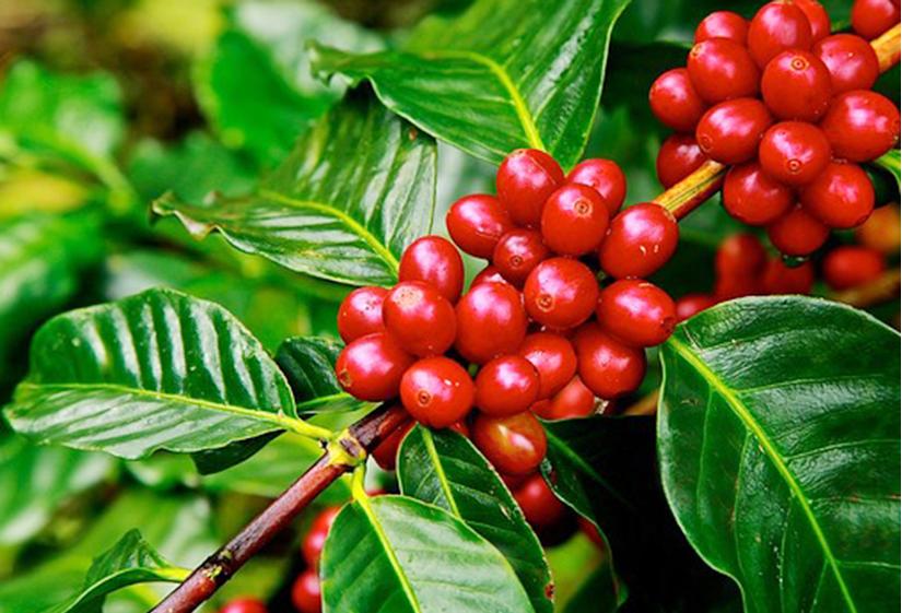 Giá cà phê hôm nay ngày 11/5, trong nước đi ngang, thế giới tiếp đà khởi sắc