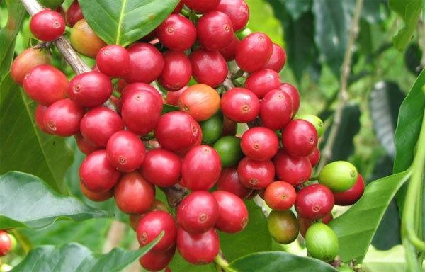Giá cà phê hôm nay ngày 12/5, trong nước và thế giới tăng mạnh