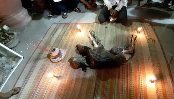 Bê 2 đầu chết ngay sau khi sinh ra, người dân mê tín đem vào chùa thờ