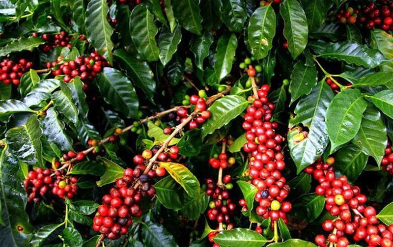 Giá cà phê hôm nay ngày 15/5, thế giới đảo chiều tăng mạnh