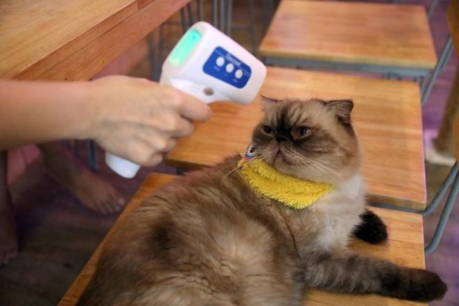 Cảnh báo virus corona có thể lây lan trong loài mèo
