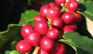 Giá cà phê hôm nay ngày 16/5: Trong nước khởi sắc, thế giới tiếp đà tăng mạnh