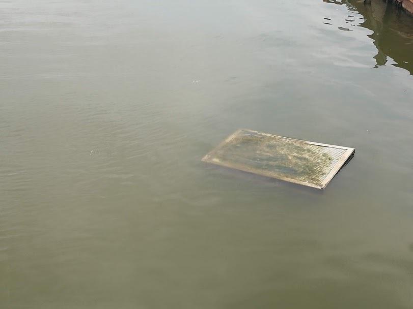 Sau 1 năm thí điểm bảo bối của Nhật, đàn cá Koi ở Hồ Tây giờ ra sao?