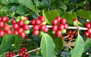 Giá cà phê hôm nay ngày 17/5: Trong nước và thế giới ổn định