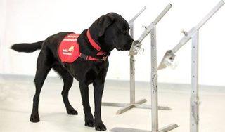 Anh thử nghiệm huấn luyện chó đánh hơi Covid-19 mà không cần xét nghiệm