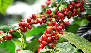 Giá cà phê hôm nay ngày 18/5: Trong nước duy trì trên mức 30 nghìn đồng/kg