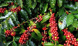 Giá cà phê hôm nay ngày 20/5: Trong nước tăng nhẹ, thế giới biến động trái chiều