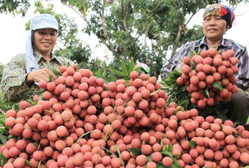 Bắc Giang tổ chức hội nghị trực tuyến với Trung Quốc để tiêu thụ vải