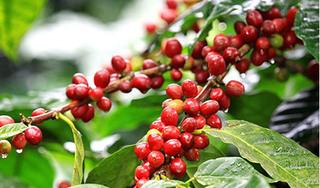 Giá cà phê hôm nay ngày 23/5: Trong nước tăng thêm 300 đồng/kg