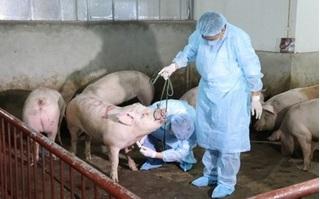 Tái phát dịch tả lợn châu Phi, Lào Cai triển khai cấp bách cách phòng chống