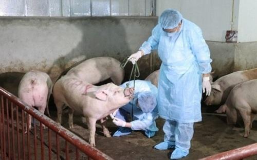 Tái phát dịch tả lợn châu Phi, Lào Cai triển khai cấp bách cách phòng