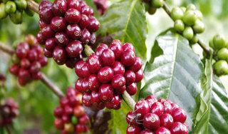 Giá cà phê hôm nay ngày 24/5: Trong nước quanh ngưỡng 31.000 đồng/kg