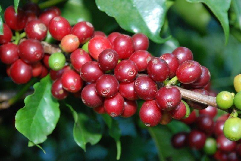Giá cà phê hôm nay ngày 26/5, trong nước duy trì quanh mốc 31.000 đồng/kg
