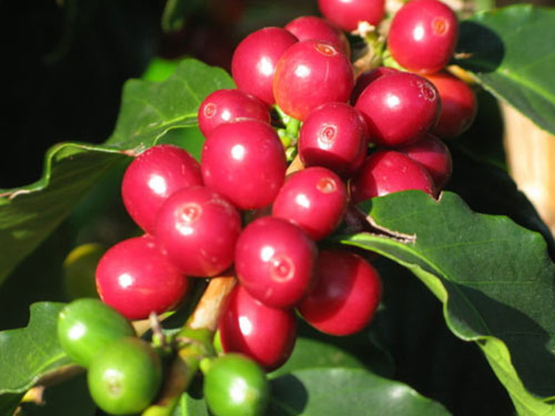 Giá cà phê hôm nay ngày 28/5, trong nước đi ngang, thế giới giảm nhẹ
