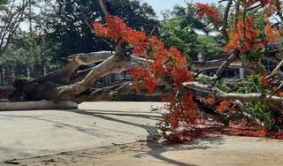 Thêm 1 cây phượng đường kính hơn 1 m bật gốc đổ trong sân trường