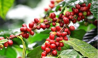 Giá cà phê hôm nay ngày 29/5: Giá cà phê trong nước lao dốc giảm mạnh