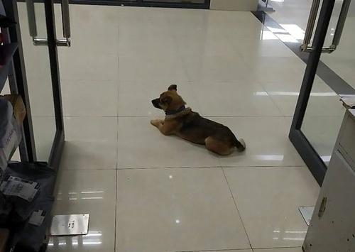 Chú chó chờ ở viện 3 tháng vì không biết người chủ mất vì Covid-19