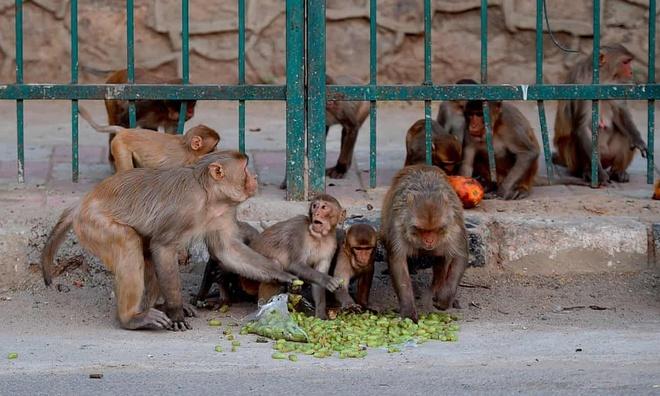 Con khỉ hung hăng lấy trộm mẫu xét nghiệm Covid-19