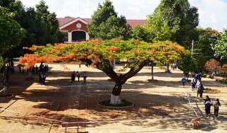 Gia Lai: Làm hàng rào cách ly cho 'cây cổ thụ'