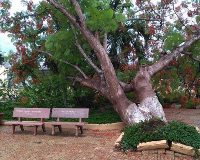 Thêm một cây phượng cao to bật gốc trong sân trường