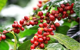Giá cà phê hôm nay ngày 1/6: Trong nước và thế giới đi ngang