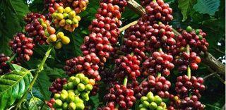 Giá cà phê hôm nay ngày 2/6: Trong nước đi ngang, thế giới biến động trái chiều