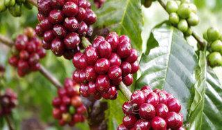 Giá cà phê hôm nay ngày 4/6: Trong nước và thế giới tăng mạnh