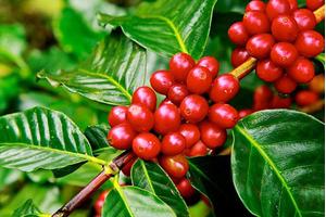 Giá cà phê hôm nay ngày 6/6: Trong nước đi ngang, thế giới tăng vọt
