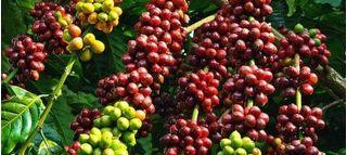 Giá cà phê hôm nay ngày 9/6: Trong nước tiến sát mốc 33.000 đồng/kg