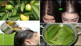 Mách bạn cách chữa rụng tóc bằng lá ổi an toàn và hiệu quả