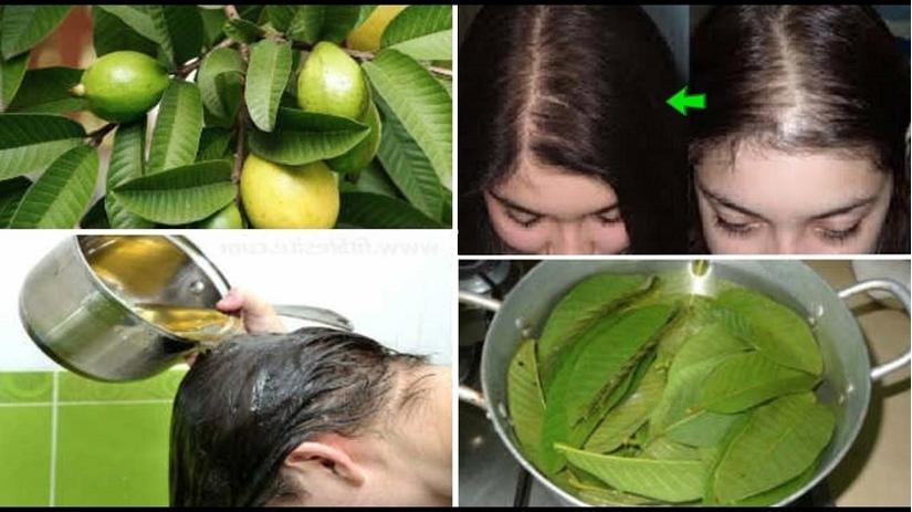 Mách bạn cách chữa rụng tóc bằng lá ổi an toàn và hiệu quả tại nhà