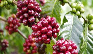 Giá cà phê hôm nay ngày 12/6: Trong nước và thế giới giảm mạnh