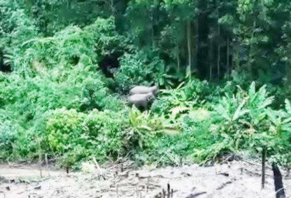 Xuất hiện 2 cá thể voi ở khu vực bìa rừng tỉnh Quảng Nam