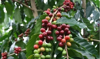 Giá cà phê hôm nay ngày 17/6: Trong nước tiếp tục giảm thêm 300 đồng/kg
